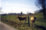 Cleburne Jersey Farm: Jersey cows with farm in background